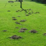How To Control Moles In Your Garden